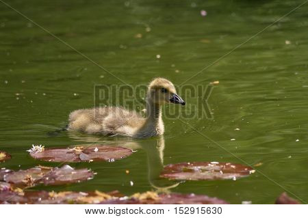 Close up of a swimming duck baby at the lake