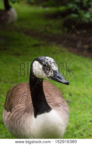Close up of a Canada Goose. Canada Geese