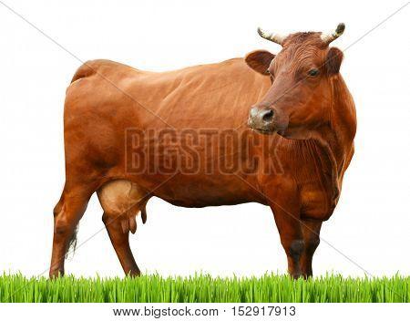 Cow on white background. Farm animal concept.