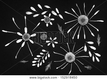 Composition of chrysanthemum flowers on black background shot black and white