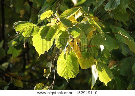 several green and yellow leaves of hazel tree enlightened with the sun