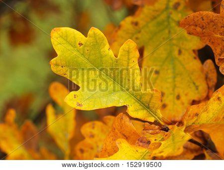 close photo of yellow leaves of oak tree