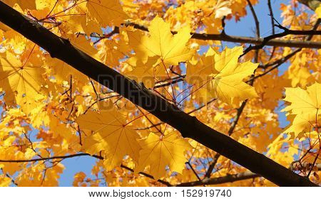 branch of maple tree with bright yellow leaves enlightened with the sun