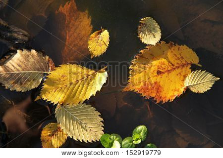 close photo of yellow alder leaves fallen into the puddle of water