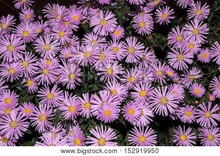 Violet asters flowers green background like fon