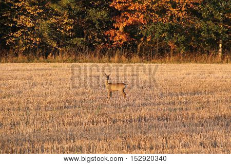 roe deer on the field with sear stubble in autumn in evening light