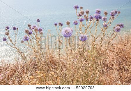purple flowers growing on the sea shore
