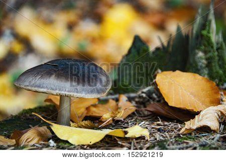 Death Cap Mushroom (amanita Phalloides)