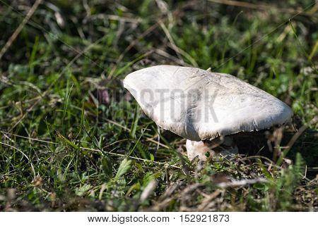 Fresh mushroom growing in the grass in fall season.