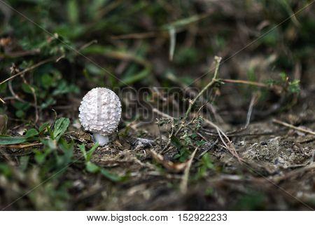 Fresh mushroom growing in the grass, in fall season.