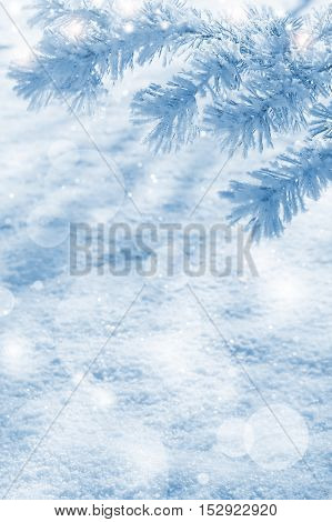 Winter natural background with pine branches in the frost