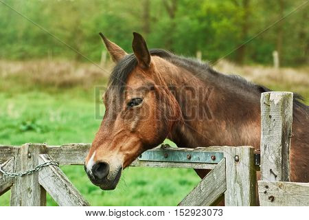 Portrait of Brown Horse near the Fence