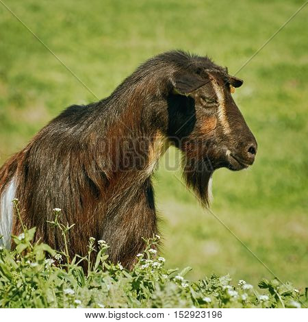 Portrait of Black Billy Goat without Horns