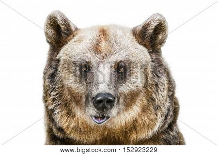 Portrait of the Brown Bear over the White Background