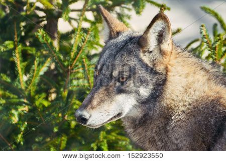 Portrait of Grey Wolf (Canis Lupus) in Forest