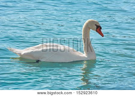 White Swan on Water Surface of the Lake