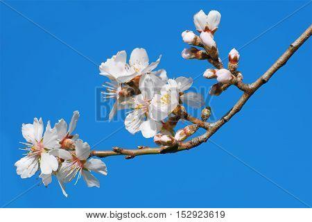 Spring Flowers on Branchlet against Blue Sky