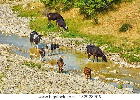 Herd of Cows at the Watering Place