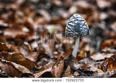 Poisonous mushrooms in forest, in fall season.