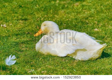 White Duck Sleeping on the Green Grass