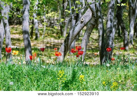 Tulip Flowers in the Forest at Spring