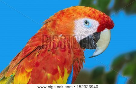 Close up Portrait of the Macaw Parrot