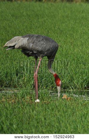 Greater Noida Uttar Pradesh India- September 7 2013: Mom Sarus Crane Grus Antigone (Linnaeus) with chick at Greater Noida Uttar Pradesh India. The sarus crane Grus Antigone (Linnaeus) is a large non-migratory crane found in parts of the Indian Subcontinen