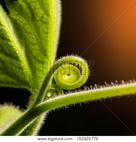 The top of pumpkin leaf.A plant climbing along the ground stem and leaves hair moustache for adhesion Macro Sunlight.