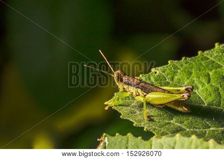 Grasshopper Are Plant Eating Insects And They Are Classified As Serious Pest And Threat To Food Crop