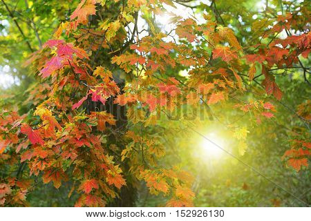 Beautiful autumn maple tree with bright colorful foliage with sunlight