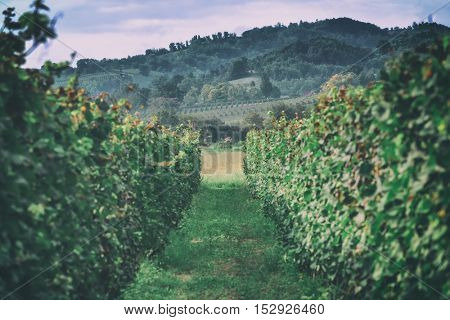 green vineyard on italy closeup, toned like Instagram filter