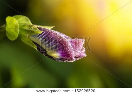 Macro shot of pea flower or purple flower or butterfly flower with sun light.Pea flower can make shampo.Selective focus and low key photo.
