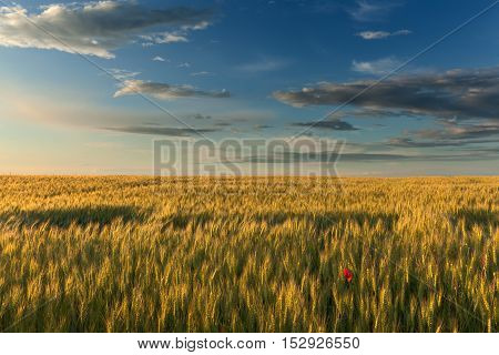 Endless fields of wheat at the beautiful sunset with lonely single flower poppy in foreground.