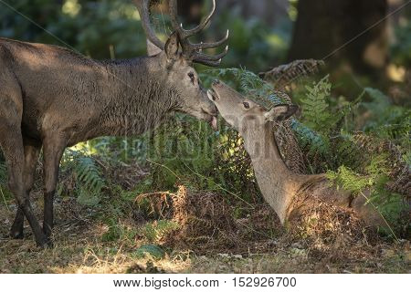 Beautiful Intimate Tender Moment Between Red Deer Stag And Hind Doe During Rutting Season In Forest