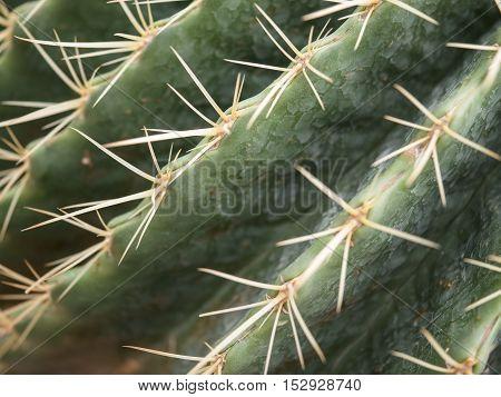 Closeup cactus texture / background (Selective focus)