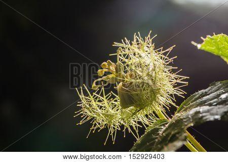 Macro Shot Of Passiflora Foetida ,fetid Passionflower, Scarletfruit Passionflower, Stinking Passionf