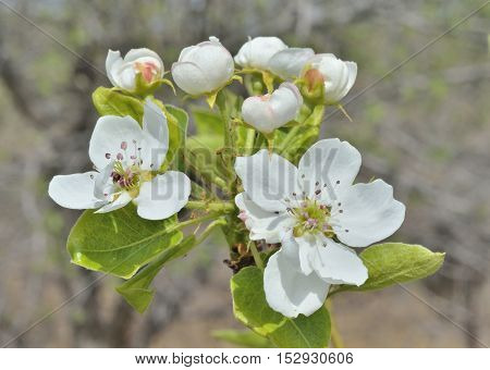 A close up of the pear flowers in orchard.