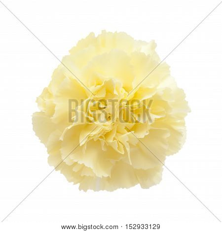Pale Yellow Carnation Flowers Isolated