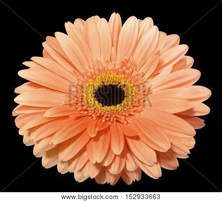Orange gerbera flower black isolated background with clipping path. Nature. Closeup. no shadows. yellow center.