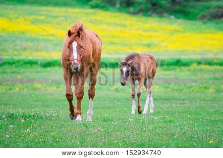 Horse mom and little in blooming meadow