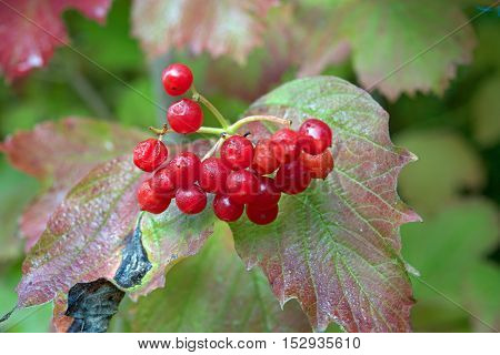 berries of a bush on a path beside a river
