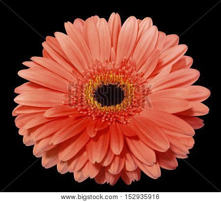 red gerbera flower black isolated background with clipping path. Nature. Closeup. no shadows. yellow center.