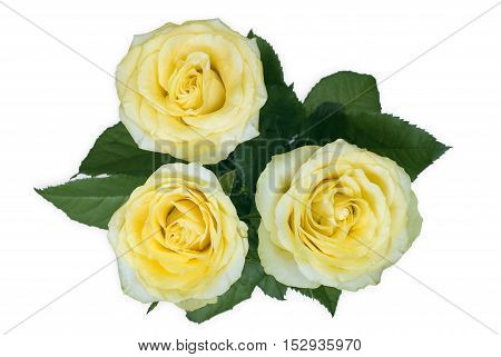 three yellow rose  flowers isolated on white background