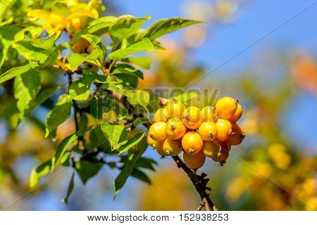 Closeup of yellow crab apples grwowing on the branch of a tree on a sunny day in the fall season.