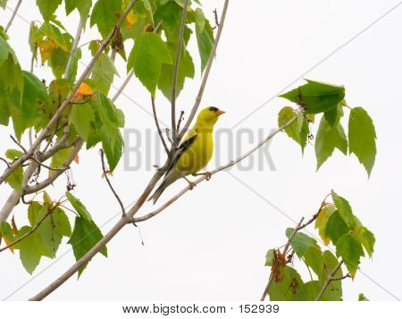 Goldfinch In A Tree