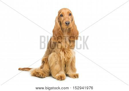 Portrait of beautiful young brown cocker spaniel dog sitting over white background. Studio shot. Copy space.