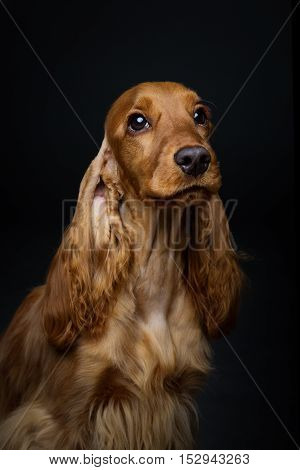 Portrait of beautiful young brown English cocker spaniel dog over black background. Closeup studio shot. Copy space.