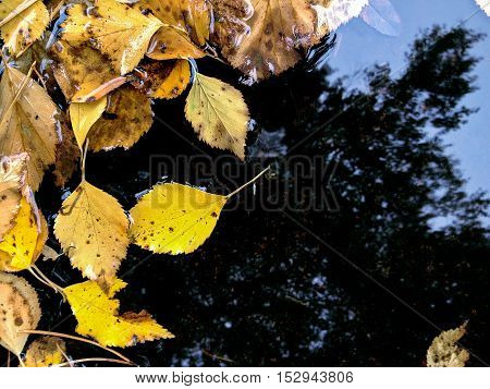 Yellow Fallen Leaves In Puddle With Reflection Of Autumn Sky
