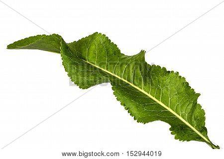 Fresh horseradish leaf (Armoracia P. Gaertn) isolated on white background