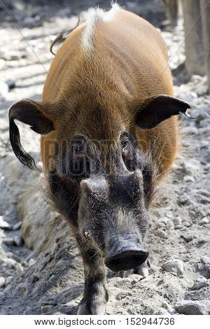 Animal portrait about a brown wild boar.